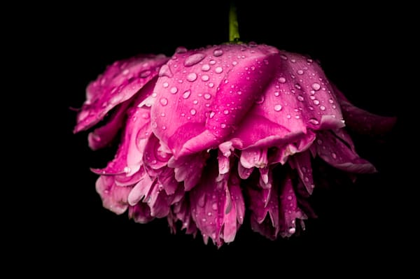 Moody floral photograph of a bright pink peony, covered in rain drops, for sale as fine art by Sage & Balm