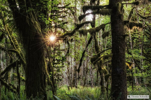 Brilliant Starburst is artistically captured from the mysterious depths of the Hoh Rainforest/Purchase fine art nature photography prints!