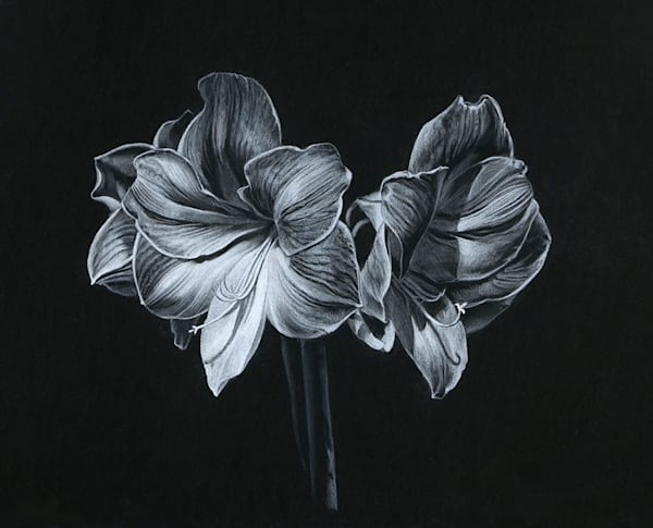 Original Amaryllis drawing for sale | Kevin Grass Fine Art