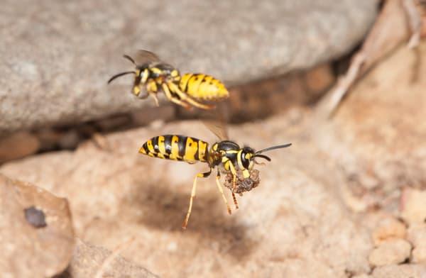 Yellowjackets in flight at nest entrance - fine art macro photograph