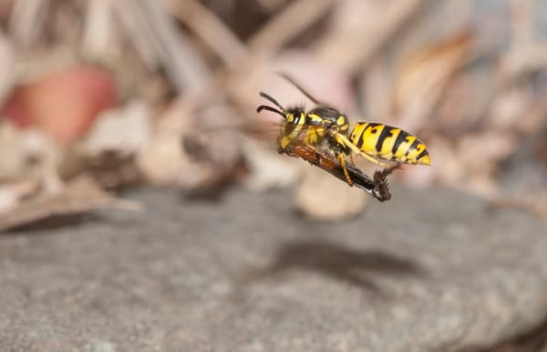 Yellowjacket flying with cricket leg - fine art macro photograph