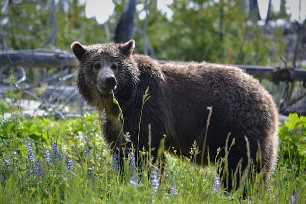 Photograph of a grizzly bear eating grass for sale as Fine Art