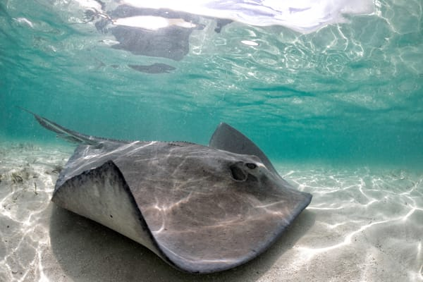 Marine Life Photography   Rays in the Bahamas by Leighton Lum