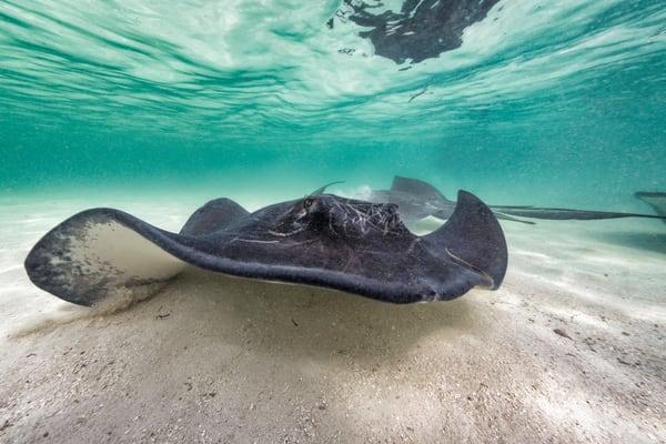 Marine Life Photography   Giant Stingrays by Leighton Lum
