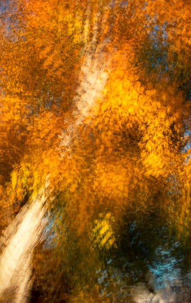 Autumn Birch for sale as fine art photograph.