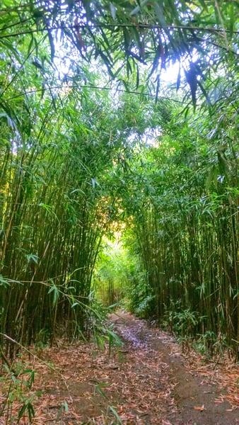 Maui Bamboo 002