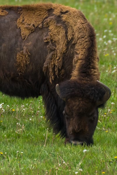 Bison 2323