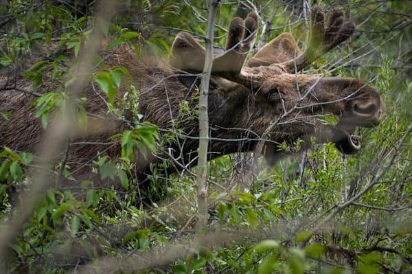 Bull Moose 3784