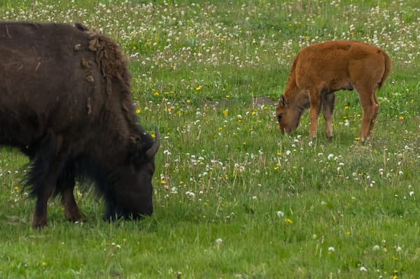 Bison and Calf 2339