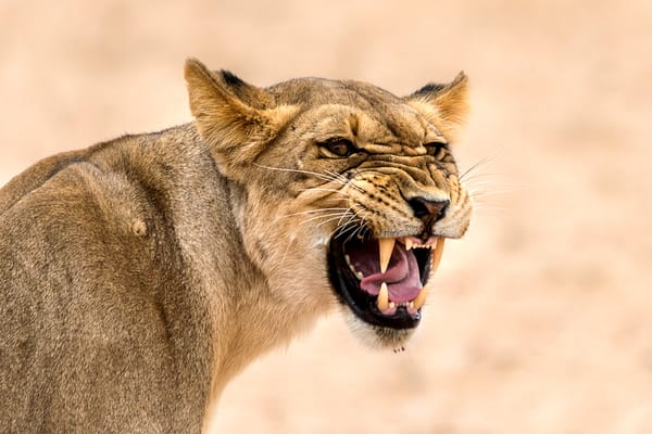 Photograph art print of female lion with angry expression and exposed teeth.