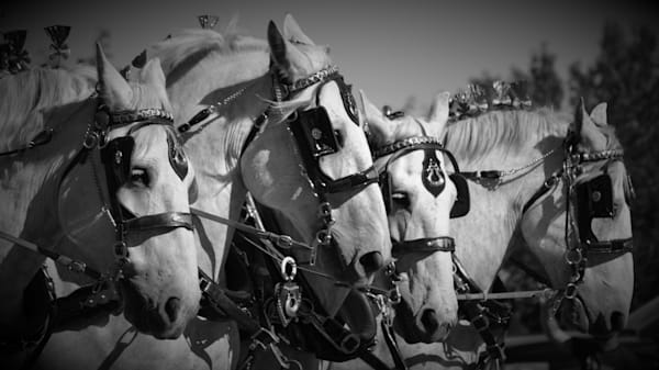 Fine Art Photograph of a Four-Horse Hitch for Sale