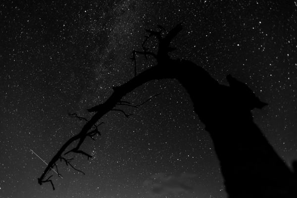 Perseid meteor shower with silhouetted old tree.