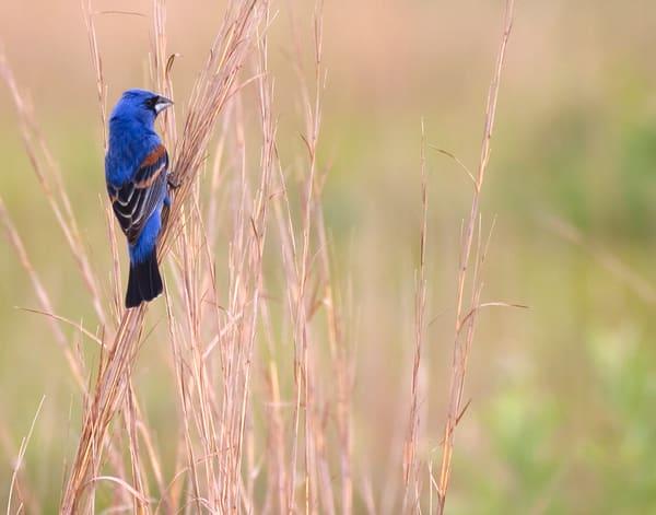 Blue Grosbeak Photography Art | Jim E Johnson Photography