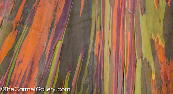 closeup of rainbow eucalyptus tree trunk