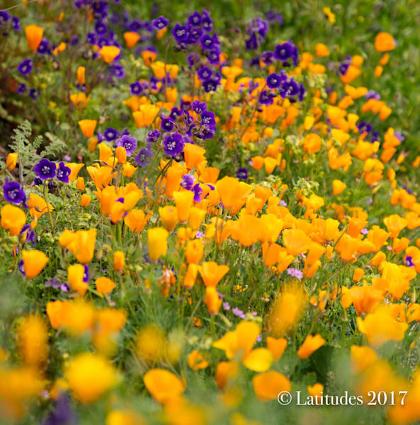 """""""Purple Wild Flowers and Poppies"""""""