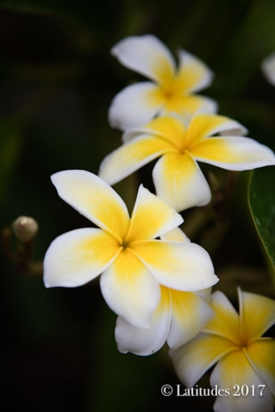 """White and Yellow Plumerias"""