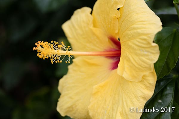 """Yellow Hibiscus Red Center"""