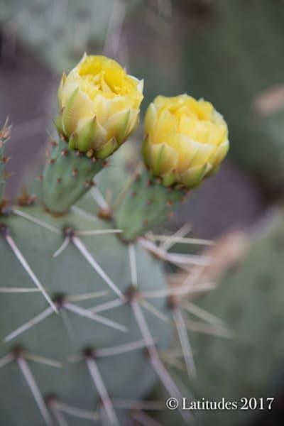 """""""Cactus Flowers"""""""