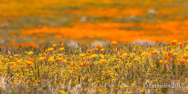 """""""Brown and Orange Poppies"""""""