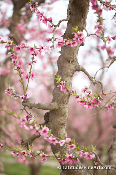 WEB BlossomBranch2