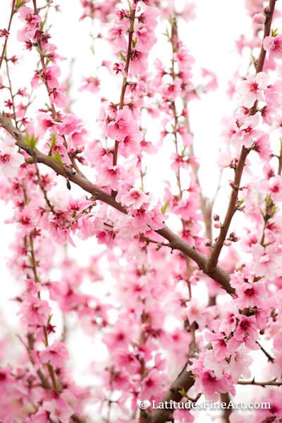 WEB Blossoms