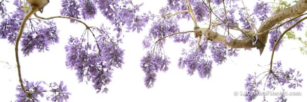 """Jacaranda Flowers"" 5"
