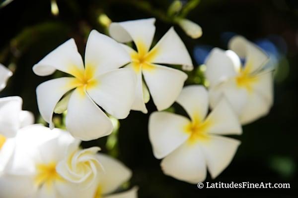 """""""White Plumerias"""""""