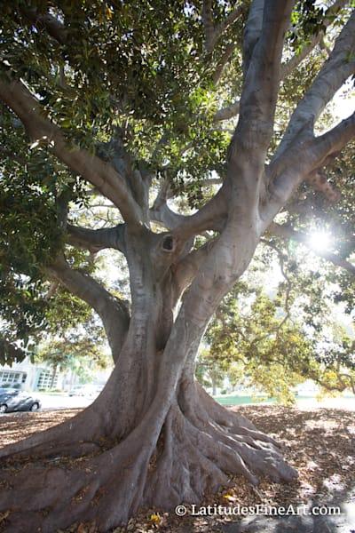 """""""Ventura Fig Tree"""""""