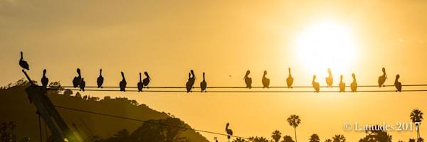 Pelican Sunset - Panoramic 347A3514