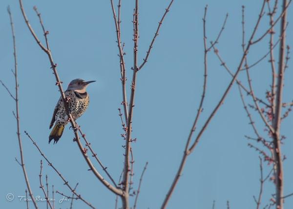Songbirds-Perchers-Peckers