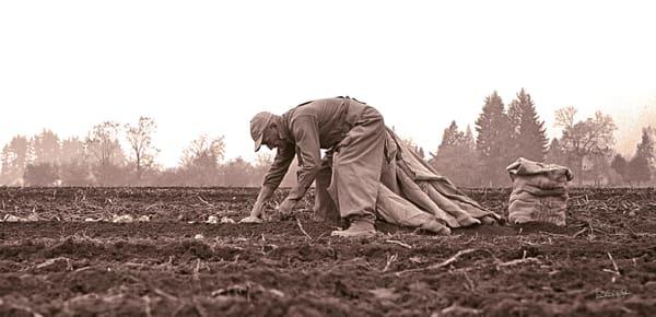 Potato Picker 1965 photograph by Richard Stefani