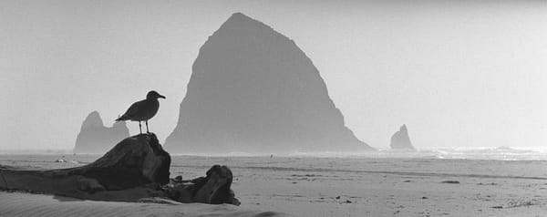 Seagull Cannon Beach 1958 photograph by Richard Stefani