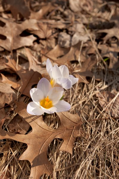 First spring crocus flowers amidst old leaves — fine art photographs