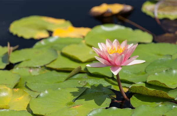 A vibrant water lily rises above wet leaves - fine art photographs
