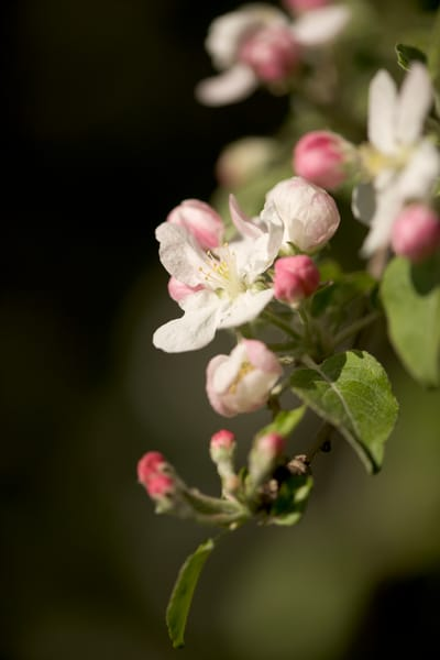 Colorful and soft apple blossoms and buds - fine art photographs