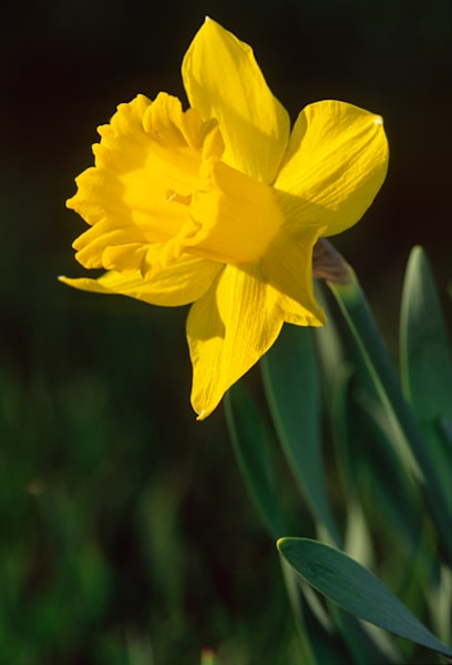 Cheery side-lit daffodil on dark background — fine art photographs