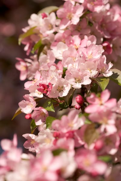 Thick cluster of Flowering Crabapple blossoms - fine art photographs