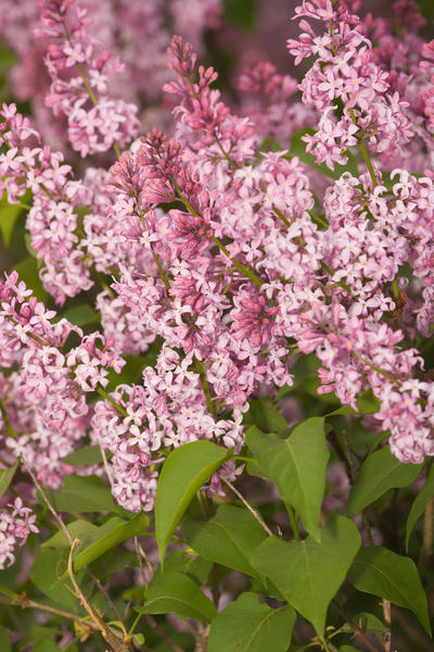 Thick cluster of fragrant lilacs in full bloom - fine art photographs