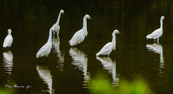 Group of Snowy Egrets at Chincoteague NWR