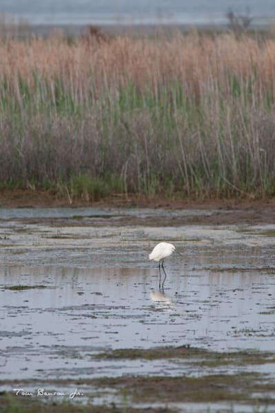Snowy Egret on the Marshes at Chincoteague NWR