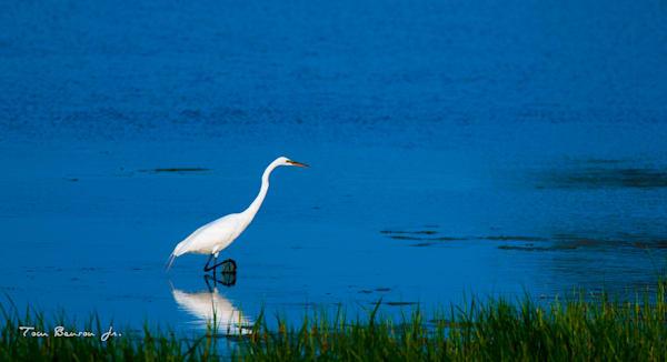 Great Egret Marsh Fishing