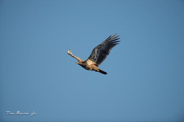 Juvenile Bald Eagle #2