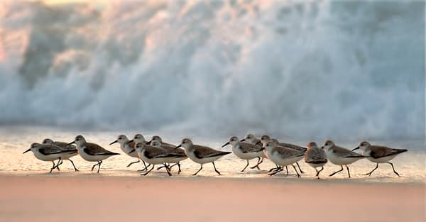 Florida's  Sand Piper and Shorebird Fine Art Photographs - Fine Art Prints on Canvas, Paper, Metal, & More