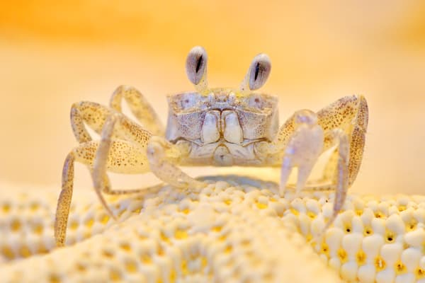 Sonny the Ghost Crab