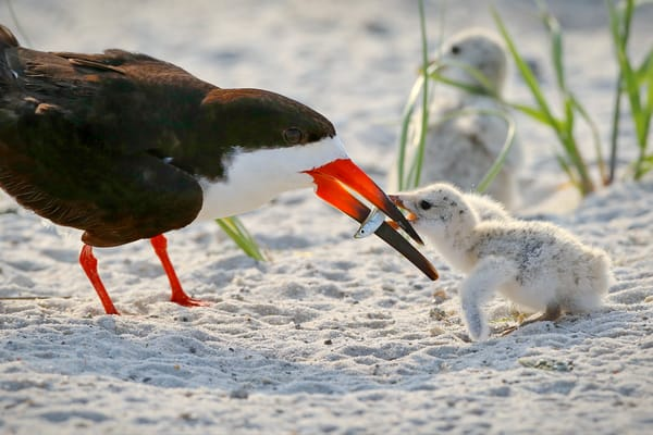 Black Skimmer feeding her chick | Navarre Beach, Florida | Fine Art Prints on Canvas, Paper, Metal, & More | Waldorff Photography