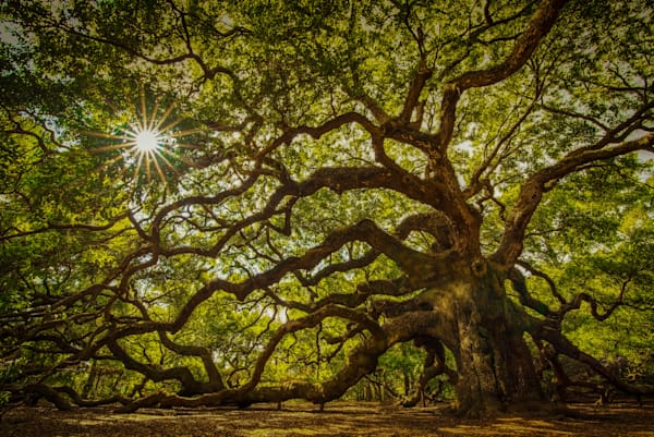 Angel Oak Tree Photograph for Sale as Fine Art