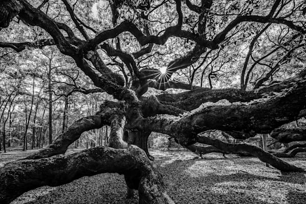 Historic Angel Oak Photograph for Sale as Fine Art