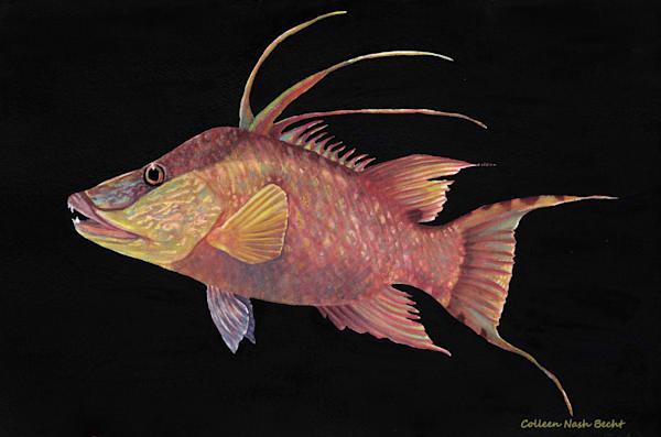 Bahamian Hog Fish  Art | ColleenNashBecht