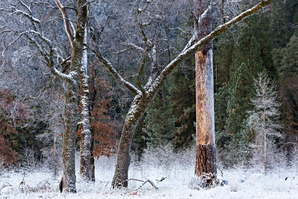 Snowy Trees In Yosemite Photograph For Sale As Fine Art