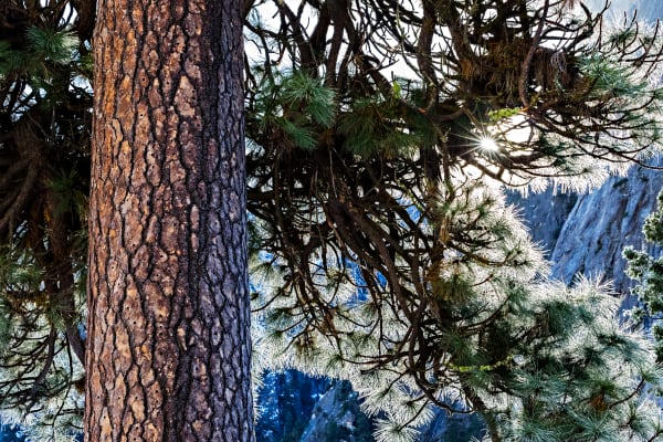 Sunbeam Through Pine Tree in Yosemite Photograph For Sale As Fine Art